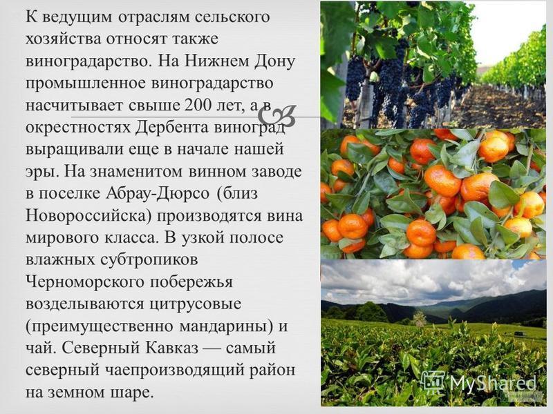 К ведущим отраслям сельского хозяйства относят также виноградарство. На Нижнем Дону промышленное виноградарство насчитывает свыше 200 лет, а в окрестностях Дербента виноград выращивали еще в начале нашей эры. На знаменитом винном заводе в поселке Абр