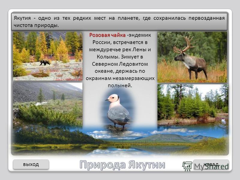 выход назад Якутия - одно из тех редких мест на планете, где сохранилась первозданная чистота природы. Розовая чайка Розовая чайка -эндемик России, встречается в междуречье рек Лены и Колымы. Зимует в Северном Ледовитом океане, держась по окраинам не