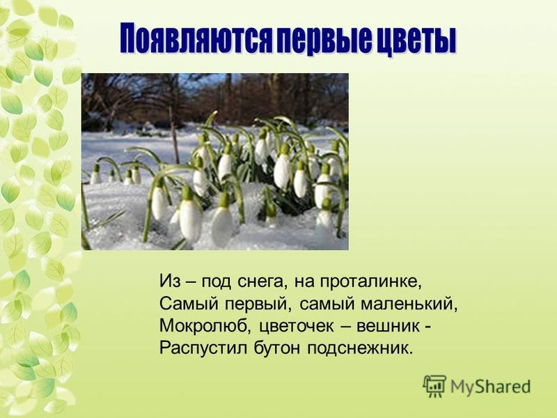 Из – под снега, на проталинке, Самый первый, самый маленький, Мокролюб, цветочек – вешних - Распустил бутон подснежник.