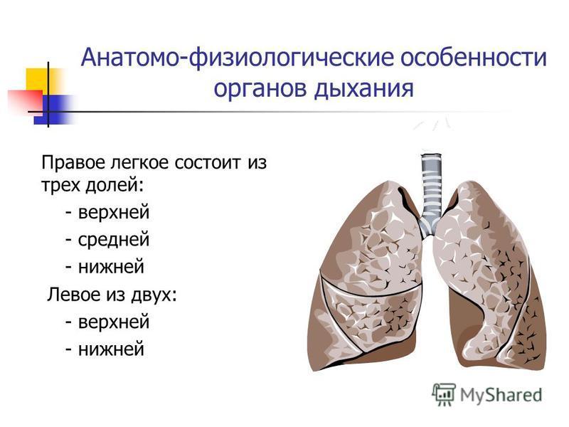 Анатомо-физиологические особенности органов дыхания Правое легкое состоит из трех долей: - верхней - средней - нижней Левое из двух: - верхней - нижней