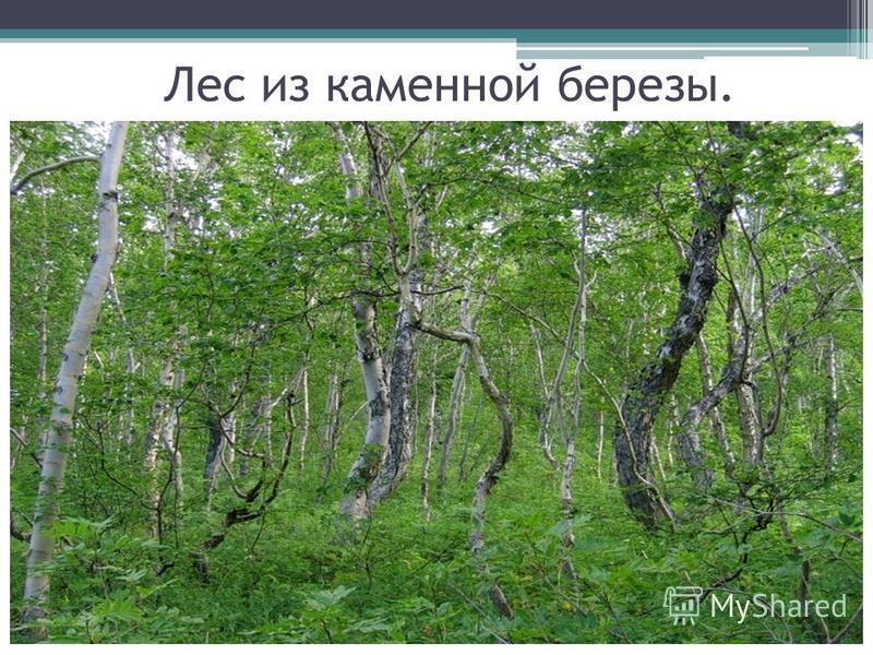 Лес из каменной березы.