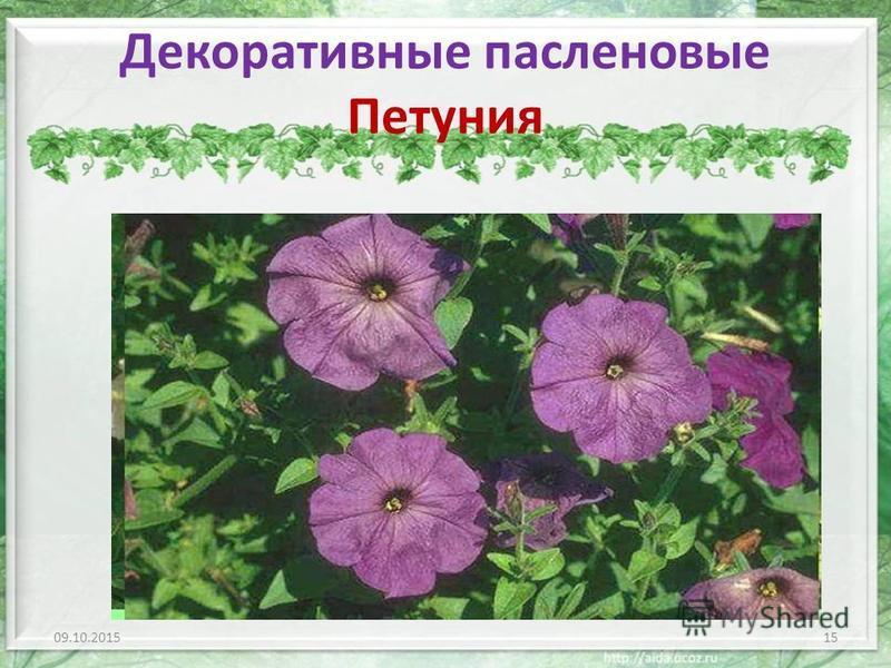 Декоративные пасленовые Петуния 09.10.201515