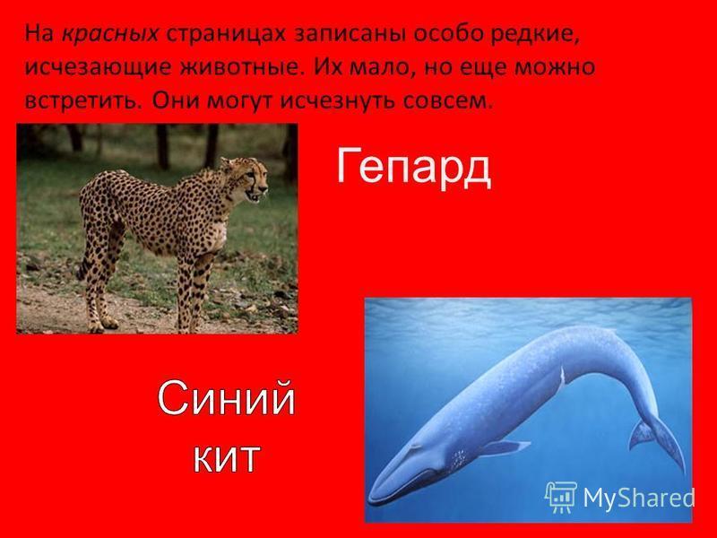 Гепард На красных страницах записаны особо редкие, исчезающие животные. Их мало, но еще можно встретить. Они могут исчезнуть совсем.