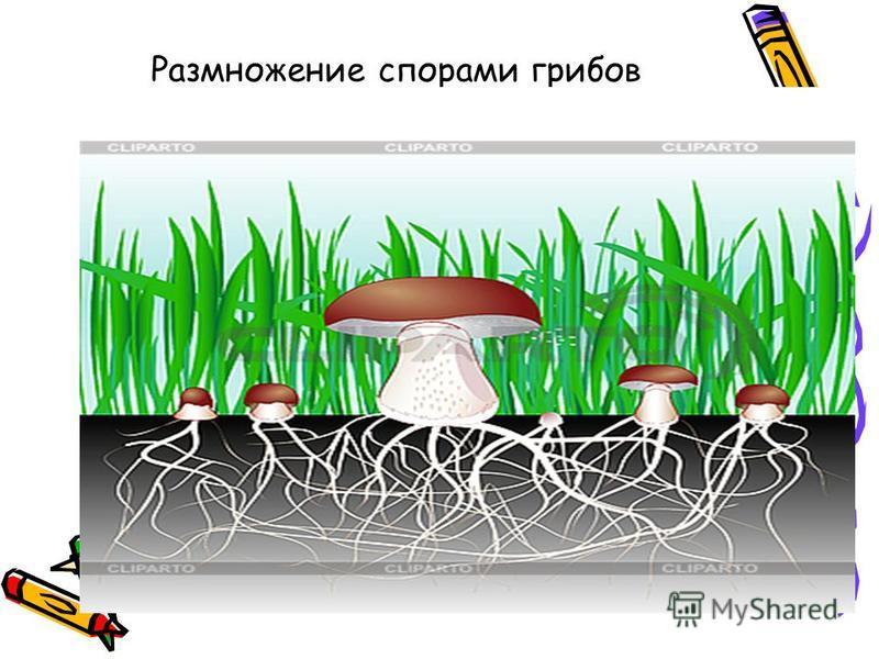 Размножение спорами грибов