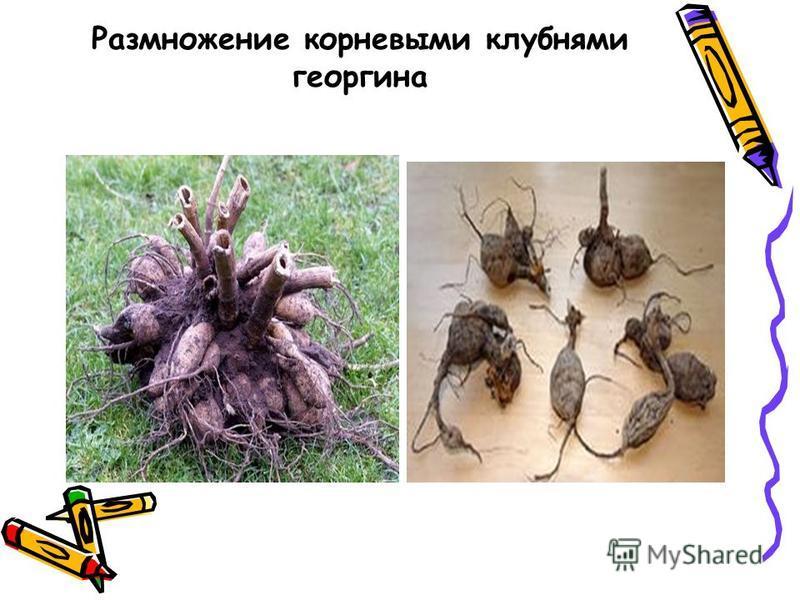 Размножение корневыми клубнями георгина