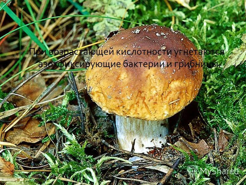 При возрастающей кислотности угнетаются азотфиксирующие бактерии и грибницы.