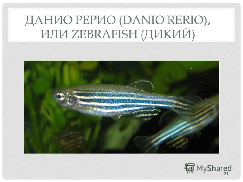 ДАНИО РЕРИО (DANIO RERIO), ИЛИ ZEBRAFISH (ДИКИЙ) 21