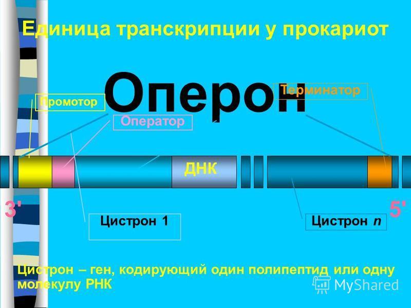 Единица транскрипции у прокариот Оперон Промотор Оператор Цистрон 1 Терминатор Цистрон n Цистрон 1 Цистрон – ген, кодирующий один полипептид или одну молекулу РНК ДНК 3'5'5'