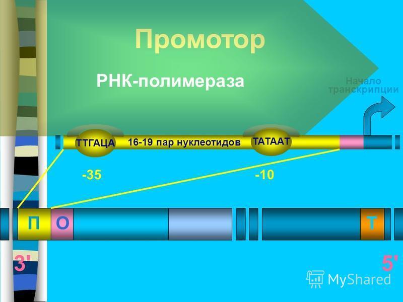 ПОТ 5'5' Промотор Начало транскрипции -10-35 16-19 пар нуклеотидов РНК-полимераза ТТГАЦА ТАТААТ