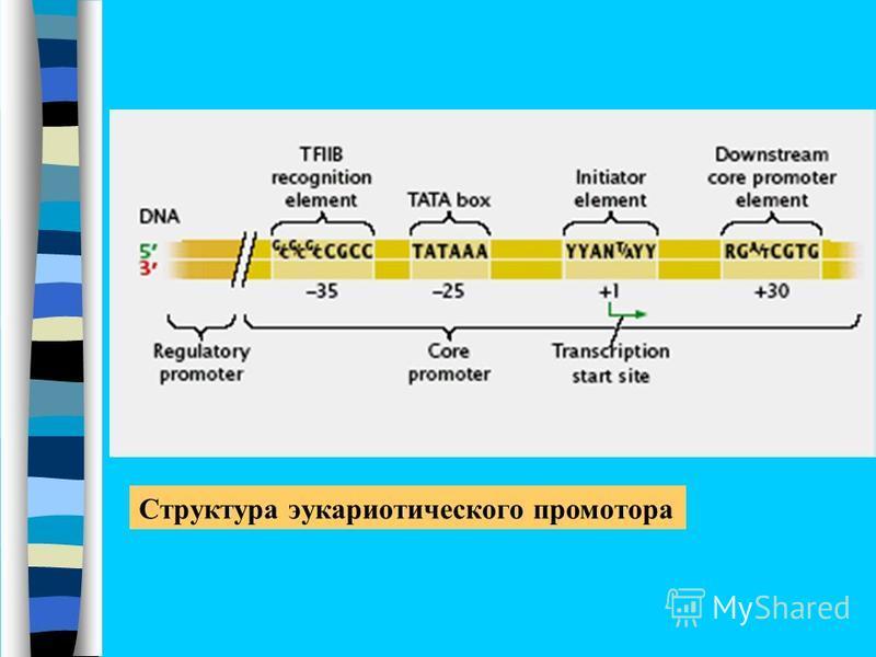 Структура эукариотического промотора