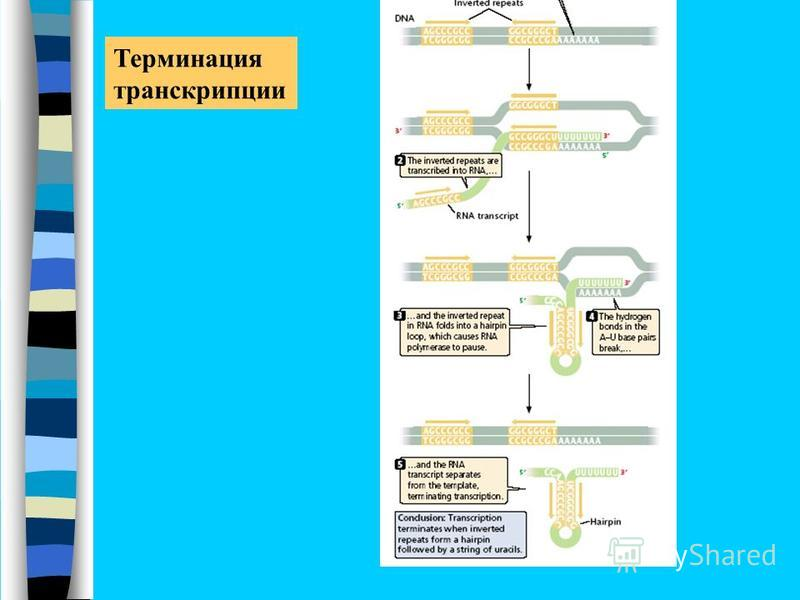 Терминация транскрипции