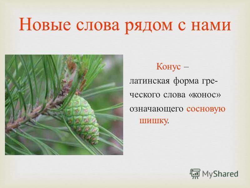 Новые слова рядом с нами Конус – латинская форма греческого слова « конус » означающего сосновую шишку.