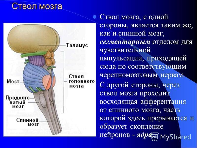 Ствол мозга Ствол мозга, с одной стороны, является таким же, как и спинной мозг, сегментарным отделом для чувствительной импульсации, приходящей сюда по соответствующим черепно-мозговым нервам. С другой стороны, через ствол мозга проходит восходящая