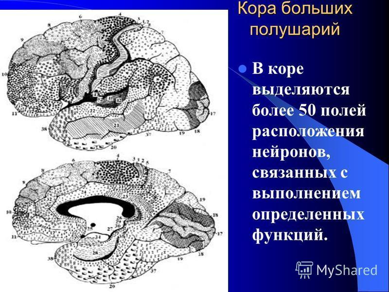 Кора больших полушарий В коре выделяются более 50 полей расположения нейронов, связанных с выполнением определенных функций.