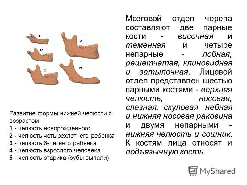 Мозговой отдел черепа составляют две парные кости - височная и теменная и четыре непарные - лобная, решетчатая, клиновидная и затылочная. Лицевой отдел представлен шестью парными костями - верхняя челюсть, носовая, слезная, скуловая, небная и нижняя
