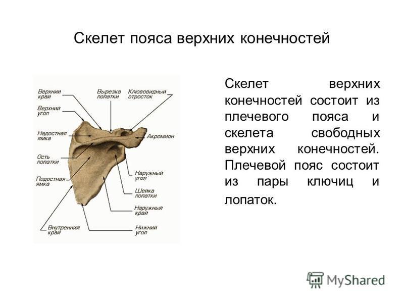 Скелет пояса верхних конечностей Скелет верхних конечностей состоит из плечевого пояса и скелета свободных верхних конечностей. Плечевой пояс состоит из пары ключиц и лопаток.