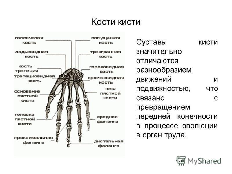 Кости кисти Суставы кисти значительно отличаются разнообразием движений и подвижностью, что связано с превращением передней конечности в процессе эволюции в орган труда.