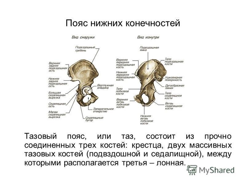 Пояс нижних конечностей Тазовый пояс, или таз, состоит из прочно соединенных трех костей: крестца, двух массивных тазовых костей (подвздошной и седалищной), между которыми располагается третья – лонная.