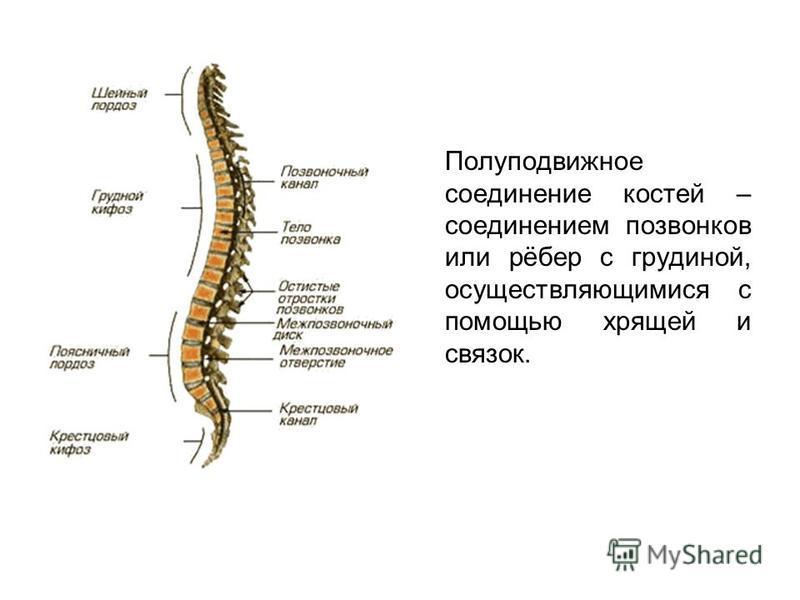 Полуподвижное соединение костей – соединением позвонков или рёбер с грудиной, осуществляющимися с помощью хрящей и связок.