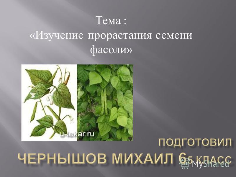 Тема : « Изучение прорастания семени фасоли »