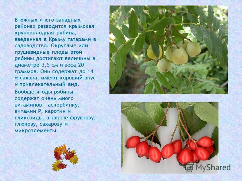 В южных и юго-западных районах разводится крымская крупноплодная рябина, введенная в Крыму татарами в садоводство. Округлые или грушевидные плоды этой рябины достигают величины в диаметре 3,5 см и веса 20 граммов. Они содержат до 14 % сахара, имеют х