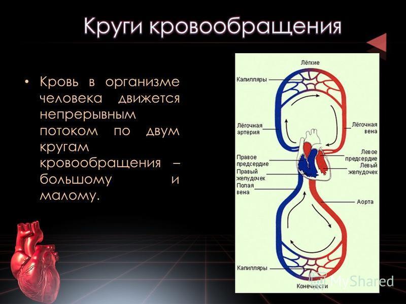 Кровь в организме человека движется непрерывным потоком по двум кругам кровообращения – большому и малому.