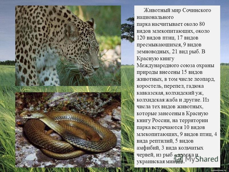 Животный мир Сочинского национального парка насчитывает около 80 видов млекопитающих, около 120 видов птиц, 17 видов пресмыкающихся, 9 видов земноводных, 21 вид рыб. В Красную книгу Международного союза охраны природы внесены 15 видов животных, в том