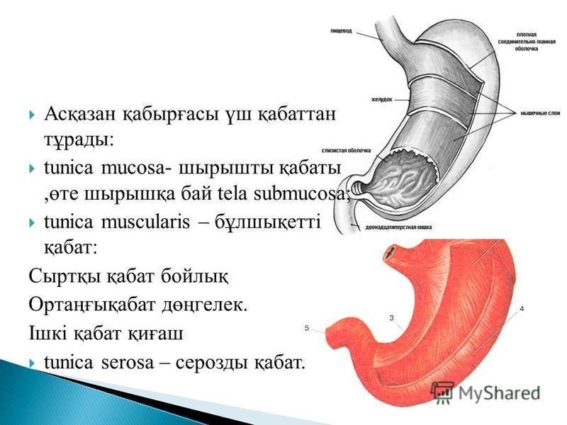 Асқазан қабырғасы үш қабаттан тұрады: tunica mucosa- шырышты қабаты,өте шырышқа бай tela submucosa; tunica muscularis – бұлшықетті қабат: Сыртқы қабат бойлық Ортаңғықабат дөңгелек. Ішкі қабат қиғаш tunica serosa – серозды қабат.