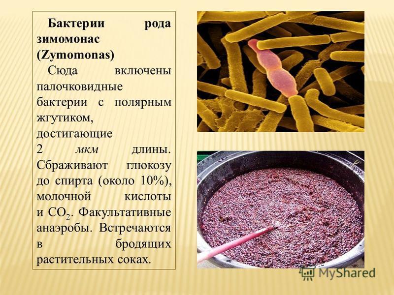 Бактерии рода зимомонас (Zymomonas) Сюда включены палочковидные бактерии с полярным жгутиком, достигающие 2 мкм длины. Сбраживают глюкозу до спирта (около 10%), молочной кислоты и CO 2. Факультативные анаэробы. Встречаются в бродящих растительных сок