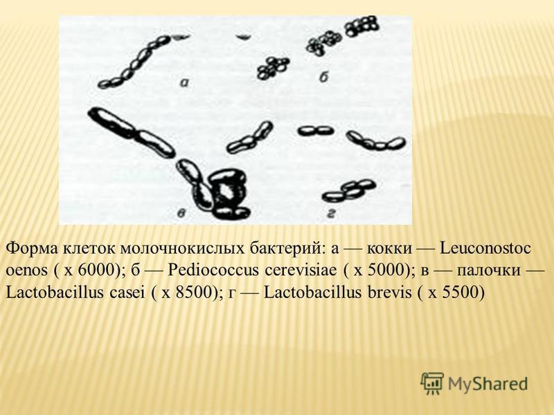 Форма клеток молочнокислых бактерий: а кокки Leuconostoc oenos ( х 6000); б Pediococcus cerevisiae ( х 5000); в палочки Lactobacillus casei ( x 8500); г Lactobacillus brevis ( x 5500)