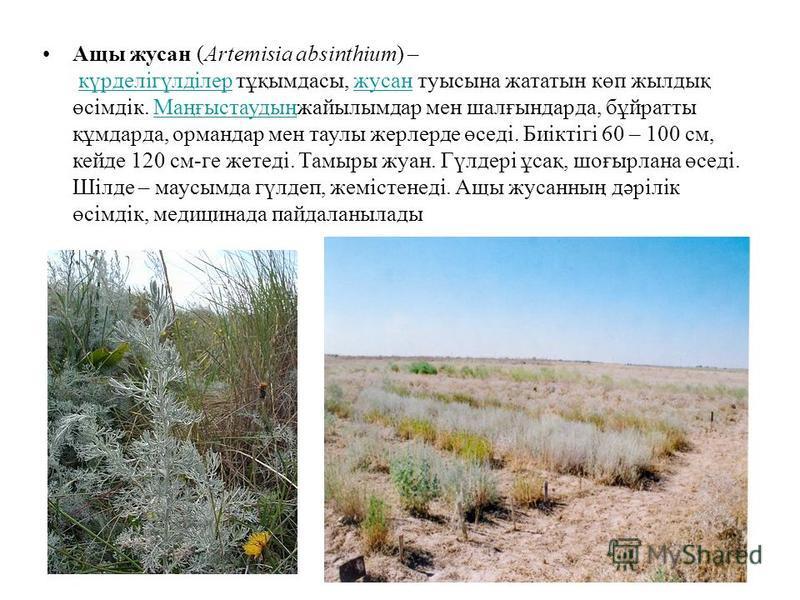 Ащы жусан (Artemіsіa absіnthіum) – күрделігүлділер тұқымдасы, жусан туысына жататын көп жилдық өсімдік. Маңғыстаудыңжайылымдар мен шалғтындарда, бұйратты құмдарда, ормандар мен таулы жерлерде өседі. Биіктігі 60 – 100 см, кейде 120 см-ге жетеді. Тамыр