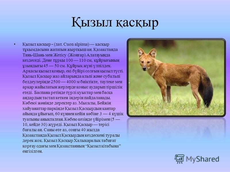 Қызыл қасқыр Қызыл қасқыр - (лат. Cuon alpinus) қасқыр тұқымдасына жататын жыртқыш аң. Қазақстанда Тянь-Шань мен Жетісу (Жоңғар) Алатаутында кездеседі. Дене тұрқы 100 110 см, құйрығының ұзындығы 45 50 см. Құйрық жүні үлпілдек. Арқасы қызыл қоңыр, екі