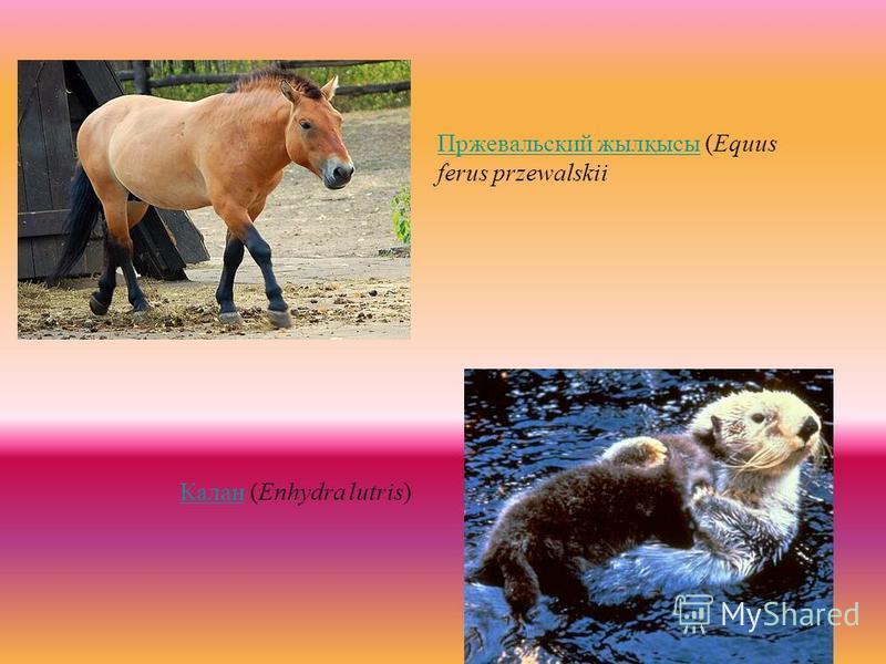 Пржевальский жилқысы Пржевальский жилқысы (Equus ferus przewalskii Калан Калан (Enhydra lutris)