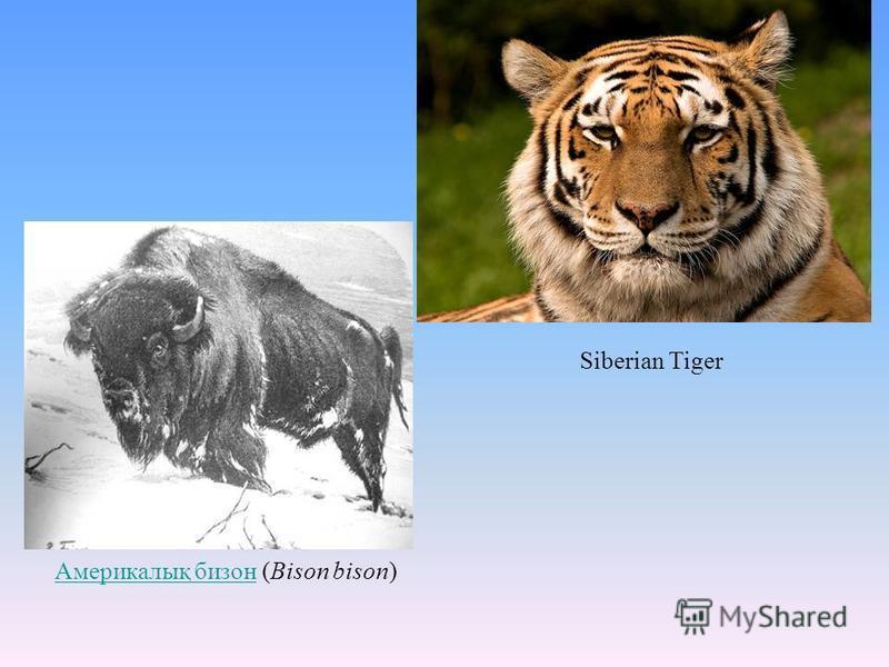 Америкалық бизон Америкалық бизон (Bison bison) Siberian Tiger