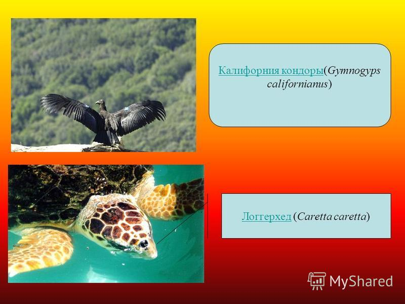 Калифорния кондоры Калифорния кондоры(Gymnogyps californianus) Логгерхед Логгерхед (Caretta caretta)