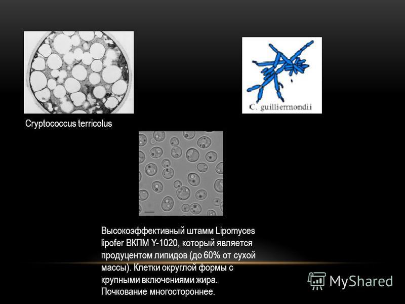 Высокоэффективный штамм Lipomyces lipofer ВКПМ Y-1020, который является продуцентом липидов (до 60% от сухой массы). Клетки округлой формы с крупными включениями жира. Почкование многостороннее. Cryptococcus terricolus