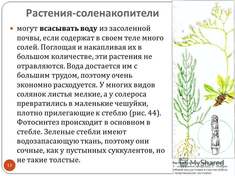 Растения - соленакопители 15.10.2015 13 могут всасывать воду из засоленной почвы, если содержат в своем теле много солей. Поглощая и накапливая их в большом количестве, эти растения не отравляются. Вода достается им с большим трудом, поэтому очень эк