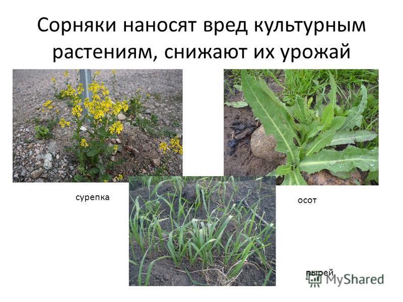 Сорняки наносят вред культурным растениям, снижают их урожай сурепка осот пырей