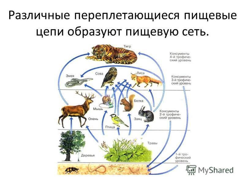 Различные переплетающиеся пищевые цепи образуют пищевую сеть.