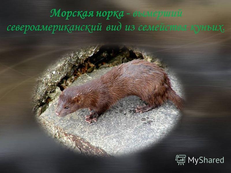 Морская норка - вымерший североамериканский вид из семейства куньих.