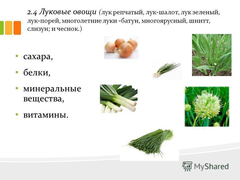 2.4 Луковые овощи (лук репчатый, лук-шалот, лук зеленый, лук-порей, многолетние луки -батун, многоярусный, шнитт, слизун; и чеснок.) сахара, белки, минеральные вещества, витамины.
