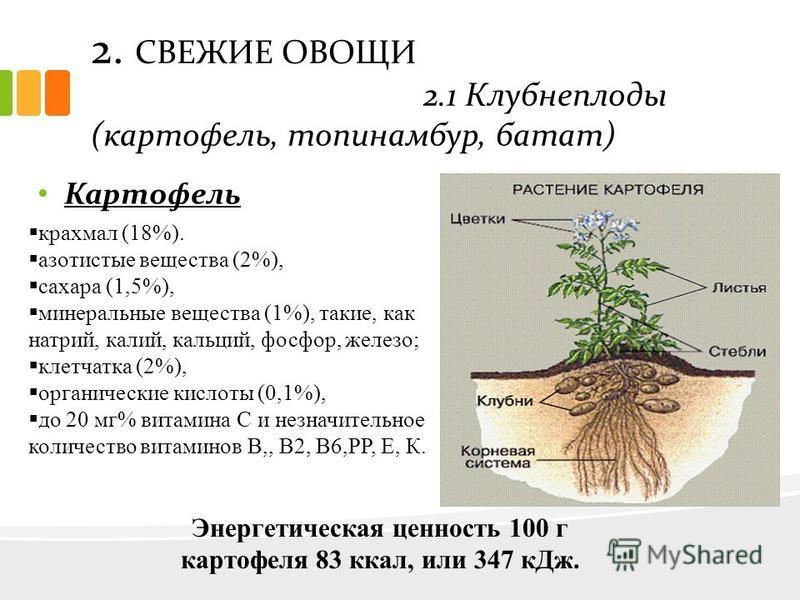 2. СВЕЖИЕ ОВОЩИ 2.1 Клубнеплоды (картофель, топинамбур, батат) Картофель крахмал (18%). азотистые вещества (2%), сахара (1,5%), минеральные вещества (1%), такие, как натрий, калий, кальций, фосфор, железо; клетчатка (2%), органические кислоты (0,1%),