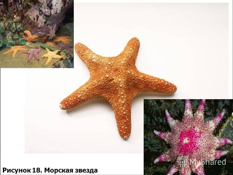 Рисунок 18. Морская звезда