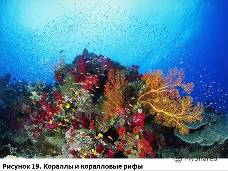 Рисунок 19. Кораллы и коралловые рифы
