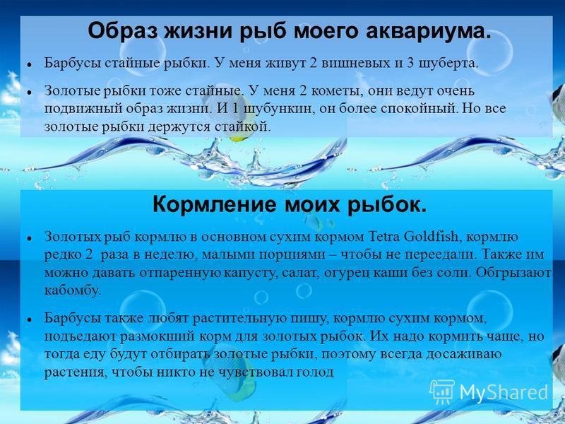 Образ жизни рыб моего аквариума. Барбусы стайные рыбки. У меня живут 2 вишневых и 3 шуберта. Золотые рыбки тоже стайные. У меня 2 кометы, они ведут очень подвижный образ жизни. И 1 шубункин, он более спокойный. Но все золотые рыбки держутся стайкой.