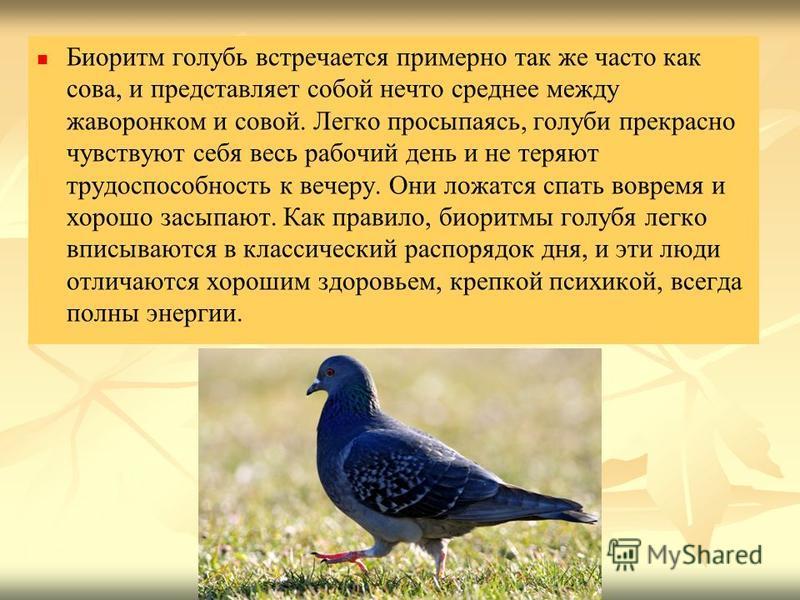 Биоритм голубь встречается примерно так же часто как сова, и представляет собой нечто среднее между жаворонком и совой. Легко просыпаясь, голуби прекрасно чувствуют себя весь рабочий день и не теряют трудоспособность к вечеру. Они ложатся спать вовре