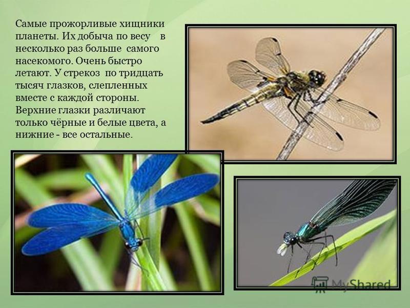 Самые прожорливые хищники планеты. Их добыча по весу в несколько раз больше самого насекомого. Очень быстро летают. У стрекоз по тридцать тысяч глазков, слепленных вместе с каждой стороны. Верхние глазки различают только чёрные и белые цвета, а нижни