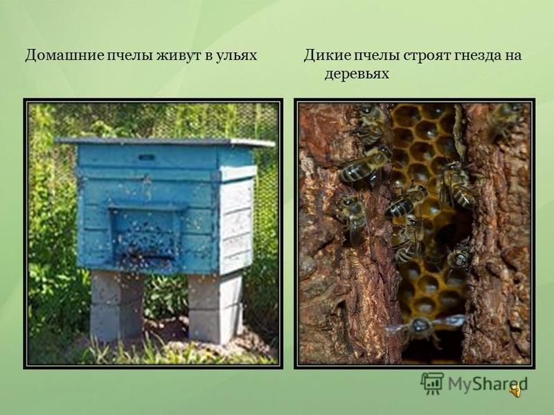 Домашние пчелы живут в ульях Дикие пчелы строят гнезда на деревьях