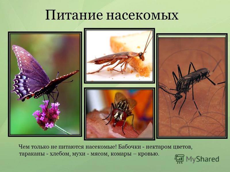 Питание насекомых Чем только не питаются насекомые! Бабочки - нектаром цветов, тараканы - хлебом, мухи - мясом, комары – кровью.