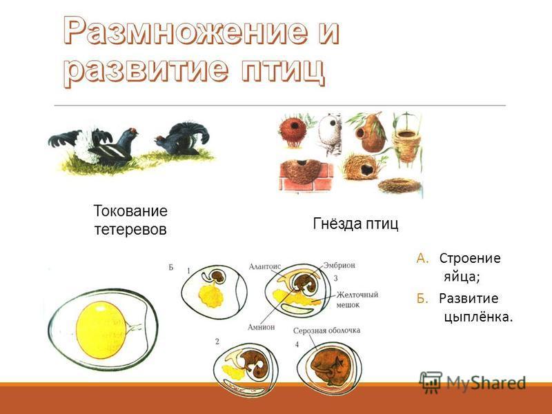 Токование тетеревов Гнёзда птиц А. Строение яйца; Б. Развитие цыплёнка.
